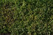 Texture Of Green Hedges