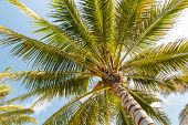 Coconut Palm Against Blue Sky