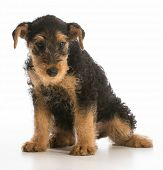 cute puppy - airedale terrier puppy sitting on white background