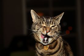 stock photo of tabby-cat  - Tabby cat yawning and licking mouth  - JPG