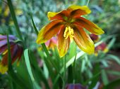 stock photo of rare flowers  - one very beutiful flower from Iran the name is Fritillaria reuteri - JPG