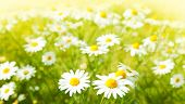 picture of daisy flower  - Beautiful photo of field daisy flowers - JPG