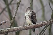 image of common  - Common Buzzard  - JPG