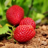 stock photo of orchard  - closeup of some ripe strawberries in the plant - JPG