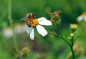 picture of pollen  - bee eat pollen of spring white flower - JPG