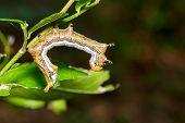 foto of caterpillar  - Close up of Large dragon - JPG