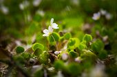 pic of sorrel  - Beautiful small flowers of wood sorrel blooming in early springtime in forests - JPG