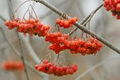 picture of ashes  - Beauty bunches of ripe red smooth berries of mountain ash - JPG