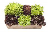 picture of escarole  - Assortment of Lettuces - JPG
