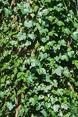 image of english ivy  - English ivy hedera helix climbing on an old tree trunk as an evergreen coat full frame texture - JPG