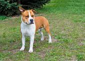 picture of american staffordshire terrier  - The American Staffordshire Terrier is on the grass - JPG