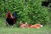 stock photo of roosters  - Free range rooster with hens in outdoor setting - JPG