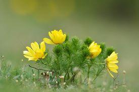 pic of rare flowers  - Yellow Pheasant - JPG