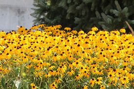 picture of black-eyed susans  - Thick blanket of a pretty yellow flower  - JPG
