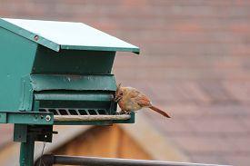 image of cardinal-bird  - Northern Cardinal female  - JPG