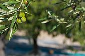 foto of olive trees  - Olive tree branch against the background of a grove in harvesting time - JPG