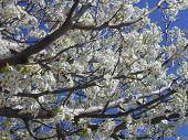 Bradford Pear Blossoms
