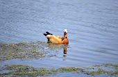 One Roody Shelduck On Water