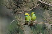 Постер, плакат: Little Green Bee eaters Couple Courtship In The Garden At Goa Beach India