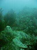 Sipadan Turtle