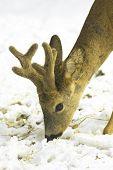 Roe deer, male, portrait (Capreolus capreolus)