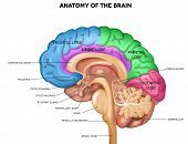 Постер, плакат: Human Brain Anatomy