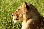 Lioness Enjoying the Sun