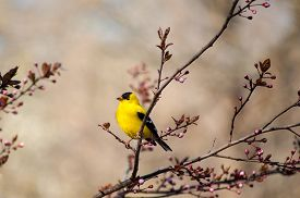 stock photo of goldfinches  - An American Goldfinch  - JPG