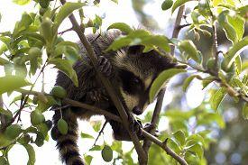 stock photo of raccoon  - A baby raccoon playing in a tree - JPG