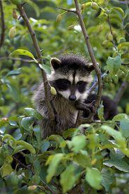 image of raccoon  - A baby raccoon playing in a tree - JPG