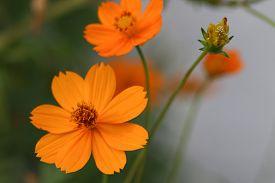 image of cosmos flowers  - Orange cosmos flowers - JPG