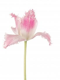 foto of rare flowers  - beautiful flower delicate pink rare tulip with fringed edges on a white background isolated - JPG