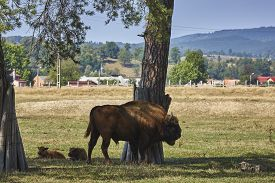 stock photo of dominate  - Large dominant European bisons  - JPG