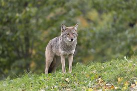 stock photo of coyote  - A lone coyote in some grass in fall - JPG