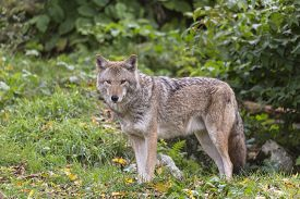 foto of coyote  - A lone coyote in some grass in fall - JPG
