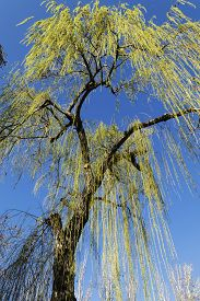 stock photo of weeping  - Sight from below of a tree weeping willow with a blue sky of bottom - JPG