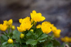 picture of buttercup  - Yellow buttercup flowers Ranunculus - JPG