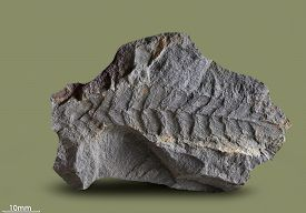 stock photo of paleozoic  - Prints of ancient plants that lived on earth 320 million years ago - JPG