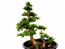 image of bonsai tree  - Bonsai trees trees in the tropical zone - JPG
