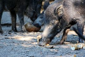 picture of boar  - portrait of a eating boar in a wildpark - JPG