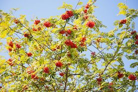 stock photo of mountain-ash  - mountain ash with red berries against blue sky