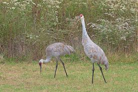 image of goldenrod  - Two sandhill cranes walk in a meadow filled with prairie grass and gone to seed ironweed and goldenrod - JPG