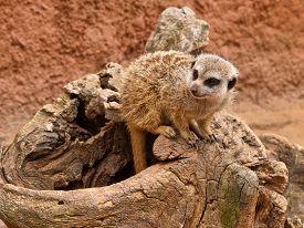 stock photo of meerkats  - Close - JPG
