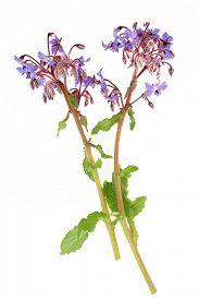 pic of borage  - Borage herb flowers over white background - JPG