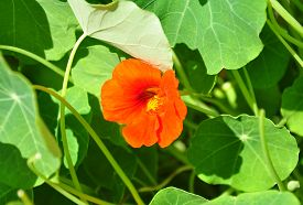image of nasturtium  - Colorful and crisp image of garden nasturtium  - JPG