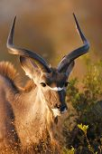 Kudu portrait in the bushveld