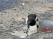 Impudent and mean magpie  standing in an oil pool.