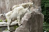 Wild Goates
