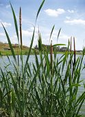 Cattails At A Lake-Side