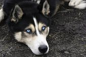 Portrait Of Lying Siberian Husky With Blue Eyes poster